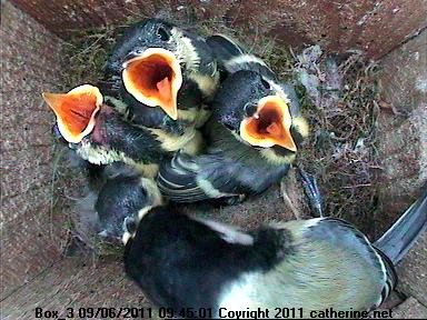 Great Tit Chicks Being Fed in Box 3