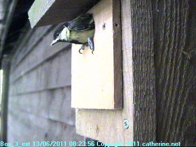 Great Tit Chick About to Leave Box 3