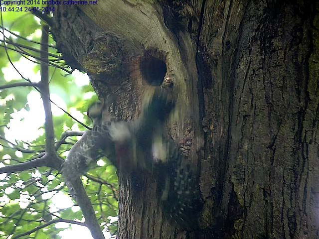 Uncontrolled Exit of Woodpecker Chick