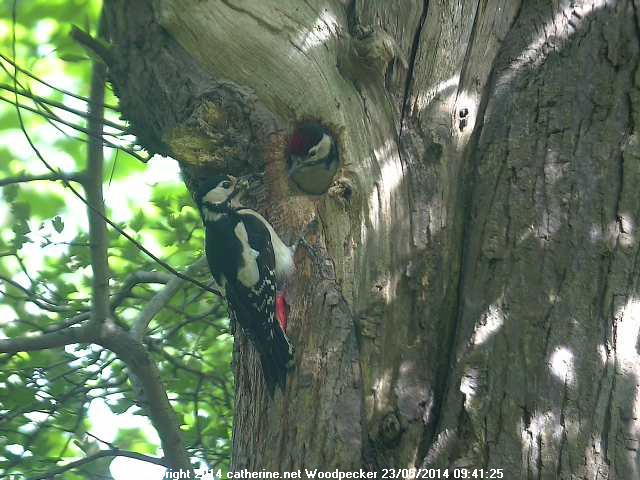 Greater Spotted Woodpecker & Chick